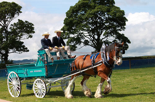 Clydesdale pulling a cart at the Heavy Horse Show. Photo © Dan Petre.