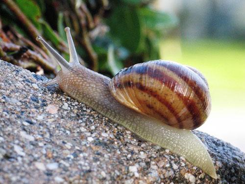 Common snail