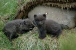 Resident arctic fox cubs at Skálanes