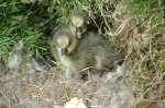 Newly hatched Eider ducklings at Skálanes.