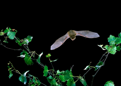 Common pipistrelle by Hugh Clark / Bat Conservation Trust