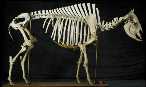 American bison skeleton