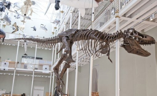 The new T.rex cast at the National Museum of Scotland