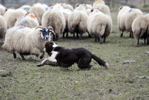 sheepdog herding at the