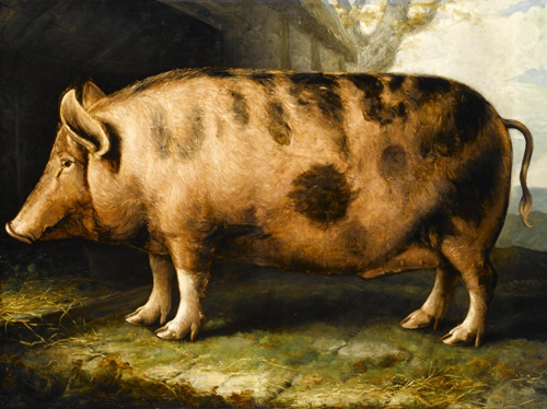 Shiels, Berkshire Pig, 1832-38, bred by Mr Loud, Mackstockmill, Warwickshire. Only the white socks and tassel tail remain in today's version of this breed.
