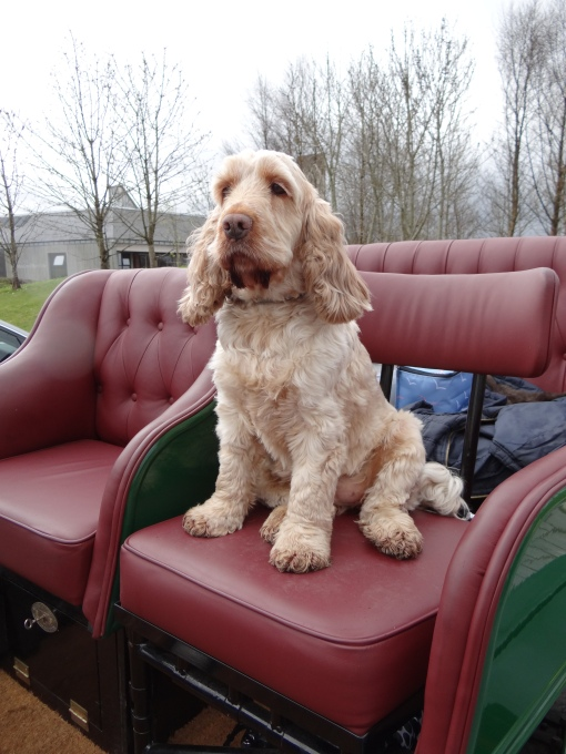 Dog posing for the camera in a vintage vehicle at Classic Cars Show, National Museum of Rural Life, East Kilbride on Sunday 5 May 2013