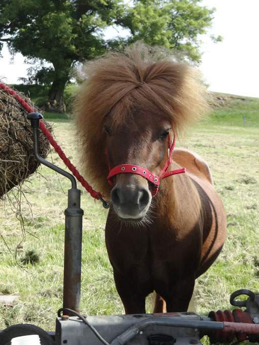 Shetland pony ready for the Heavy Horse Show, National Museum of Rural Life, East Kilbride on Sunday 14 July 2013