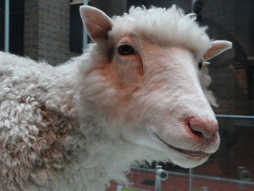 Dolly the sheep on display in the National Museum of Scotland